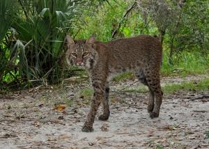 Bob Cat-Google Images